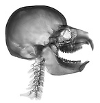 X-ray image of a hyrax and human amalgamation (black on white) by Jim Wehtje, specialist in x-ray art and design images.