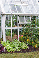 Greenhouse + tomatoes and lettuce