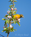Baltimore Oriole (Icterus galbula), female foraging in apple blossom, Wayne County, New York, USA
