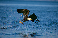 Bald eagle (Haliaeetus leucocephalus) fishing..