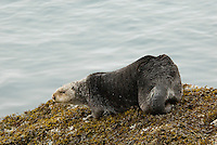 Sea Otter (Enhydra lutris) out on shore--sea otters spend most of their time in the ocean, but will occasionally come out and explore/rest on shore.
