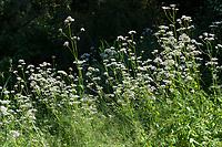 Echter Baldrian, Baldrian, Großer Baldrian, Echter Arznei-Baldrian, Arzneibaldrian, Katzenwurzel, Valeriana officinalis, Common Valerian, garden valerian. La Valériane officinale, Valériane des collines, Valériane à petites feuilles