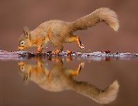Red squirrel Sciurus vulgaris, an adult drinking at a reflection pool, Dumfries, Scotland, UK, January
