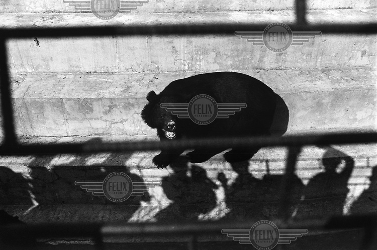 An agitated bear is fed by visitors while sitting on a concrete step in its cage in Rangoon Zoo.