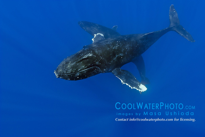 humpback whales, Megaptera novaeangliae, courting pair, Hawaii, USA, Pacific Ocean