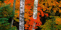 Vilas County, WI: White birch trunks (Betual papyrifera) branches in fall colors in the Northern Hightland American Legion State Forest