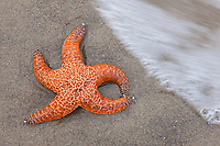 Seastar and incoming wave on the beach, Oregon.