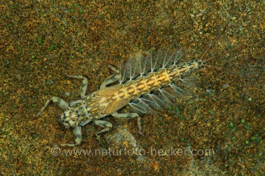 Gelbe Eintagsfliege, Larve, Nymphe im Wasser, Wasserinsekt, Potamanthus luteus, Yellow mayfly, larva, larvae, nymph