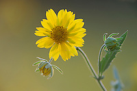 Cowpen Daisy, Golden Crownbeard (Verbesina encelioides), Laredo, Webb County, South Texas, USA