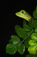 A young green basilisk hangs out in a bush.