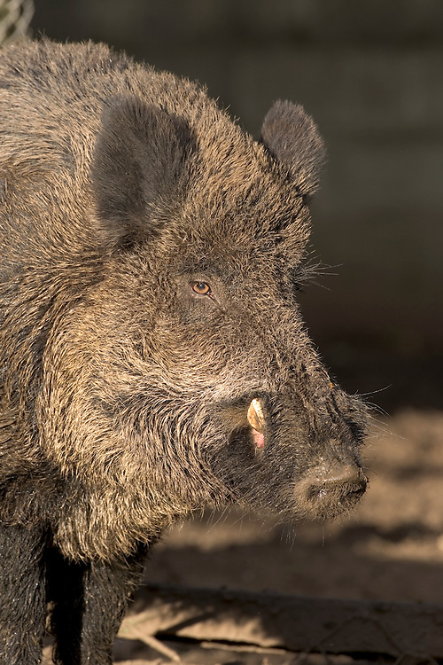 Wild Boar Sus scrofa Length 1-1.5m Stocky, well-built animal. Ancestor of domesticated Pig. Adult has laterally flattened body. Coat is grizzled grey-brown; comprises just bristle-like guard hairs in summer; dense, with underfur in winter. Coat is often obscured by mud. Head tapers to a blunt snout. Note small eyes are relatively long ears. Adult male (boar) is more powerfully built than female (sow) and has protruding, upwards-pointing tusk-like lower canine teeth. Juvenile (piglet) is reddish brown with longitudinal white stripes. Foraging animals grunt while feeding; barking call uttered in alarm. Wild Boar were driven to extinction in 17th Century. Recently, re-introduced animals and escapees from captivity have formed feral populations, mainly in Sussex and Kent; favours wooded farmland
