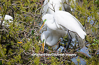 00688-02208 Great Egrets (Casmerodius albus) mating, St Augustine FL