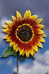 USA, California, Hybrid sunflower blowing in the wind at sunset