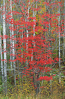Red maple among birch trees, Itasca County, Minnesota, AGPix_0671.