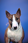 Miniature Bull Terrier<br />