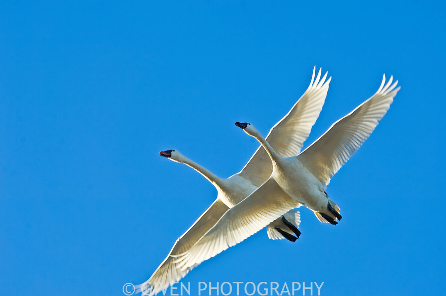 Tundra Swans, Skagit, Washington.