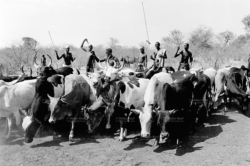 Ethiopia. South Omo Zone. Salamago district. Hana (little village). Bodi tribe. Nomadic. Young men with cows. Some men are fully naked. The Bodi tribe is located in the Debub Omo Zone (South Omo Zone) of the Southern Nations, Nationalities and Peoples's région. © 2001 Didier Ruef