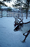 SWEDEN, Swedish Lapland, A Reindeer in a Sami Village