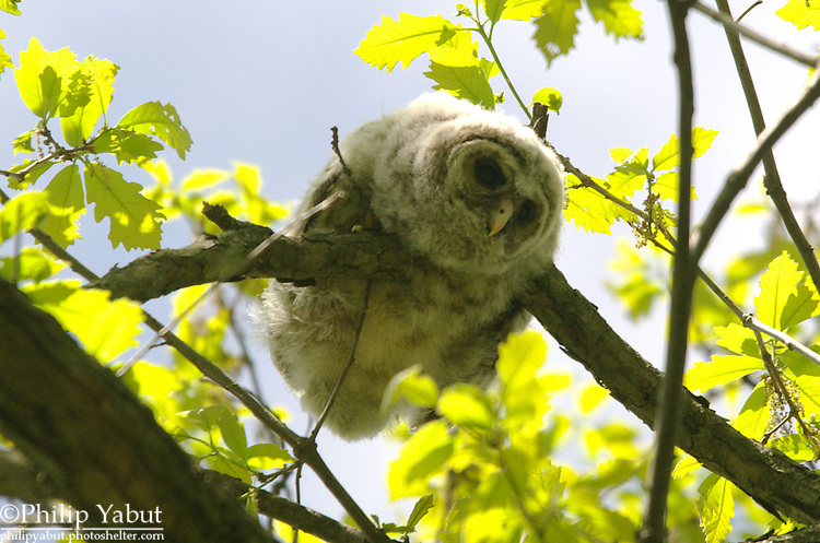 Newly fledged barred owl (Strix varia), Washington Grove, Maryland