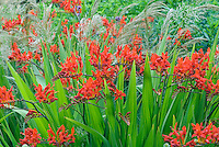 Crocosmia Lucifer Planted With Stipa Calamagrostis Grass Showing Red Flowers  And Feathery Plumes Together In Good
