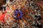 Sea apple (Pseudocolochirus violaceus) a sea cucumber feeding.