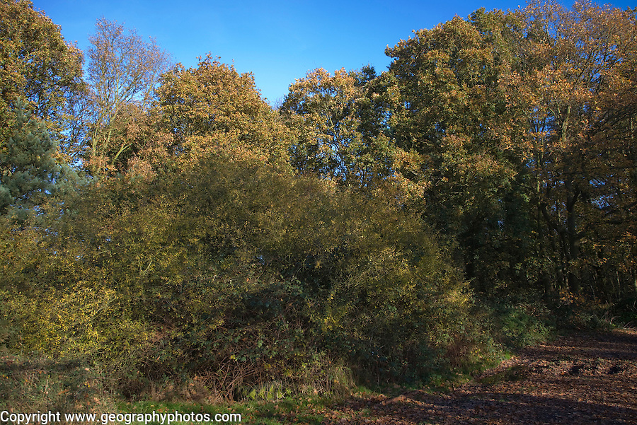 Woodland trees with leaves in autumn colour, Dunwich Forest, Suffolk, England
