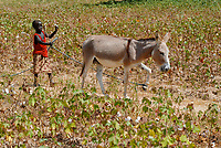 BURKINA FASO , children work with their families on the smale scale farm, girl with donkey in cotton field / Kinder arbeiten mit auf der Farm der Eltern, Maedchen mit Esel im Baumwollfeld