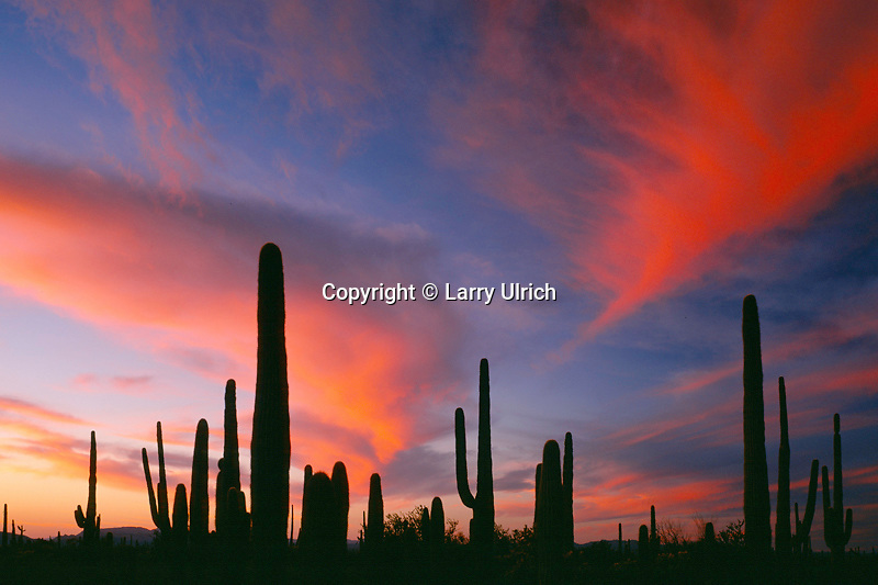 Saguaros at sunset near Alamo Wash<br />