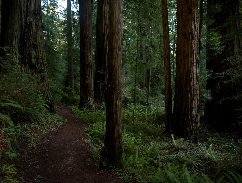 Trail through Coastal Redwoods in Northern California.