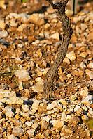 Chateau Mire l'Etang. La Clape. Languedoc. Terroir soil. France. Europe. Vineyard. Soil with stones rocks.