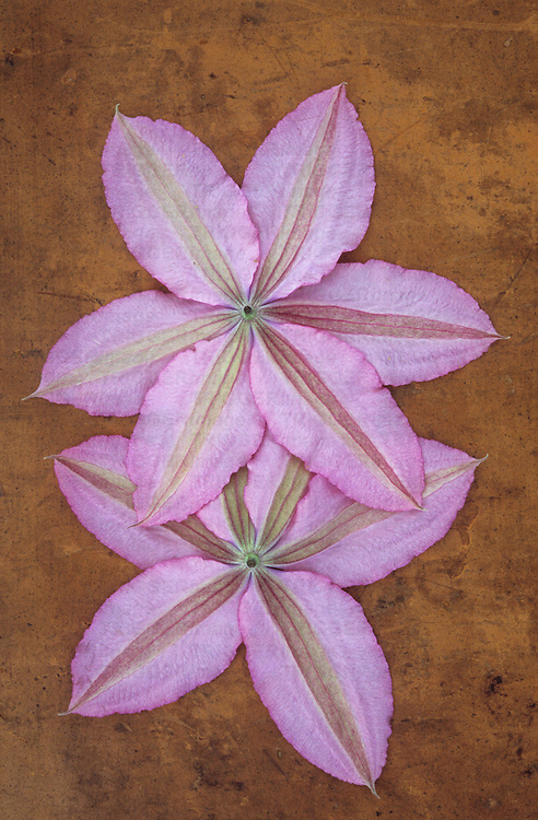 Two pale pink flowers of Clematis Hagley hybrid lying face down on scuffed leather