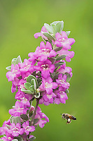 Honey Bee (Apis mellifera), adult drinking from Texas Sage (Leucophyllum frutescens), South Texas, USA