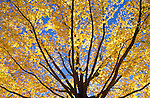 Maple tree in fall, upstate New York.
