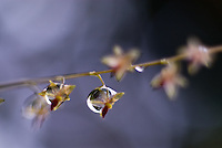 Close-up of water droplets on very small orchids,  Parque Internacional La Amistad