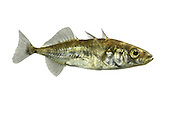 Three-spined Stickleback Gasterosteus aculeatus Length 4-7cm<br /> This &lsquo;tiddler&rsquo; is a familiar resident of streams and brackish water, recognised at all times by the 3 dorsal spines; it is silvery for most of the year but, in the breeding season, the male acquires a red belly and bluish dorsal sheen.