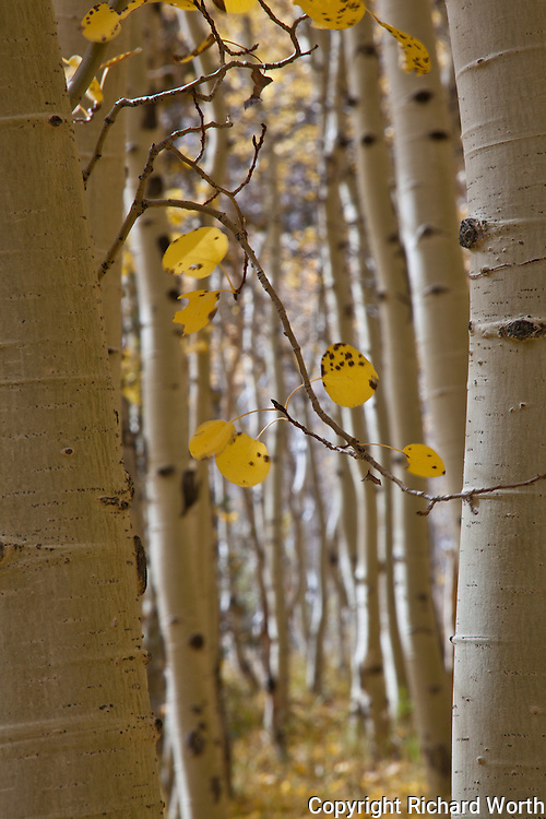 Close-up of the black-punctuated white trunks that are aspen, losing their leaves painted in fall's gold and brown.  Lundy Lake, Sierra Nevada.