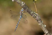 Herbst-Mosaikjungfer, Mosaikjungfer, Herbstmosaikjungfer, Männchen, Aeshna mixta, scarce aeshna, migrant hawker, male