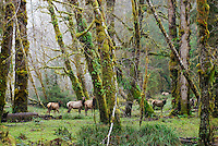 Roosevelt Elk (Cervus elaphus) herd among alder trees in Olympic National Park Rainforest.  Winter.