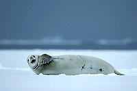 Crabeater Seal (Lobodon carcinophagus) on the ice