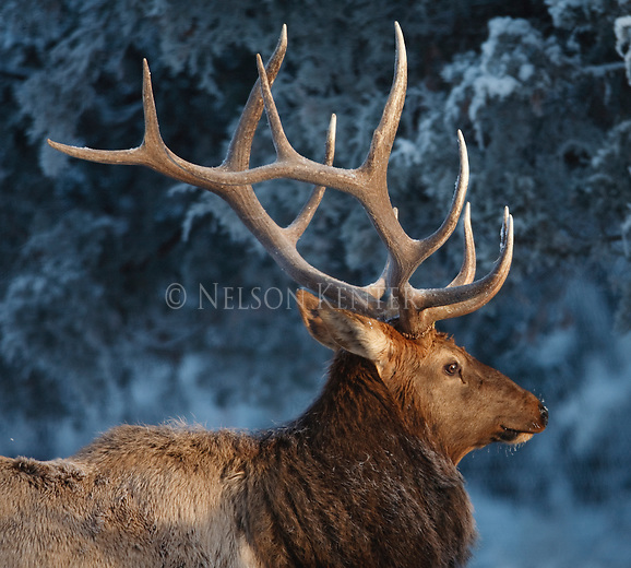 Trophy class bull elk in an early winter snow in Montana