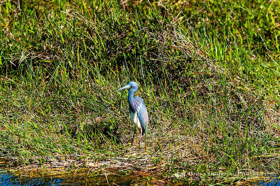 US, Florida, Everglades. Anhinga Trail Boardwalk. Tricolored Heron.