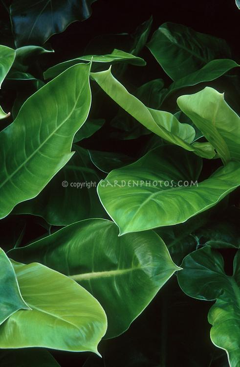 Gorgeous houseplant foliage plant Philodendron 'Moonlight'