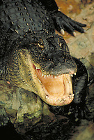 portrait of an alligator looking at camera with mouth wide open.