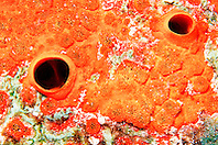 red boring sponge, .Cliona delitrix, Key Largo, .Florida Keys National Marine .Sanctuary (Atlantic)