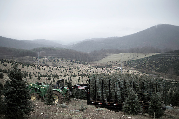 November 24, 2008. Ashe County, NC.. On one of the lots that is owned by Furches Evergreens, baled trees are hauled by tractor down the step hillside to the loading zone. The steep terrain that the Frazier firs love makes for difficult harvesting, with most of the cutting and hauling being down by hand until a rough road can be found and a tractor, and at times a bulldozer, is used to navigate the muddy farm roads.