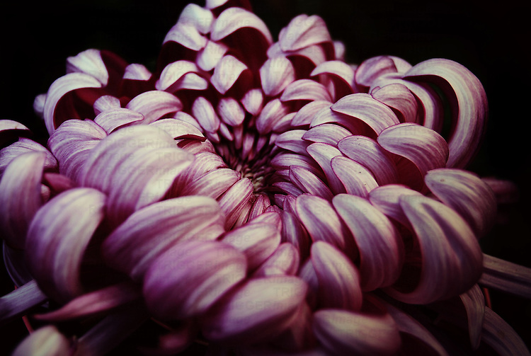 Close up of a pink Chrysanthemum against a black background.