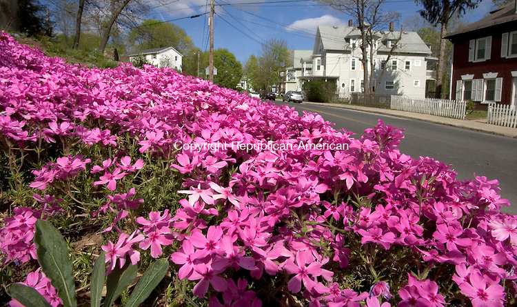 WATERBURY, CT. 20 April 2012-042012SV16-A flower called flox grows all along upper pine street in Waterbury Friday..Steven Valenti Republican-American