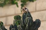 Costa's hummingbird nest
