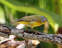 Male Nashville warbler