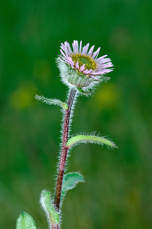 ALPINE FLEABANE Erigeron borealis (Height to 25cm) has a basal rosette of hairy, lanceolate leaves and upright stems that carry solitary heads comprising pinkish lilac ray florets and yellowish disc florets, 2cm across (Jul-Aug). It is a rare plant of the E Highlands.